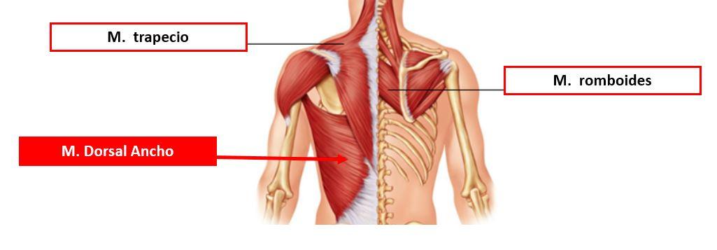 musculos dorsales